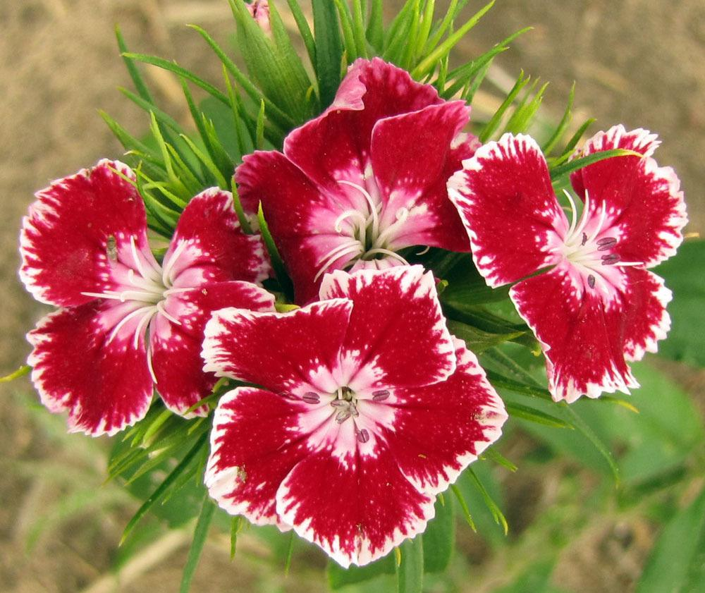 Dianthus plant care and collection of varieties garden add or edit informational text about this plant mightylinksfo