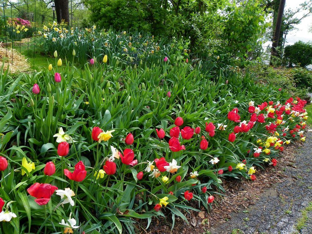 Daylilies And Spring Bulbs The Perfect Combination