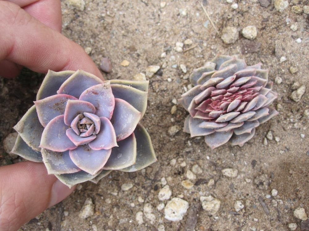 Photo of Echeveria 'Perle von Nurnberg' uploaded by MagerRooRHammer