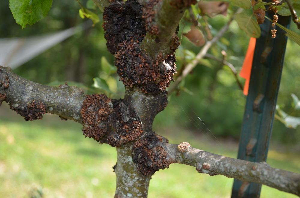 Pests and Diseases forum: Strange knots on apple trees ...