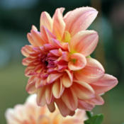"Location: Waterloo IL USADate: 2013-09-08Dahlia ""Nancy's Favorite\"""