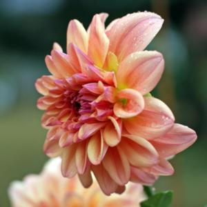 "Dahlia ""Nancy's Favorite\"""