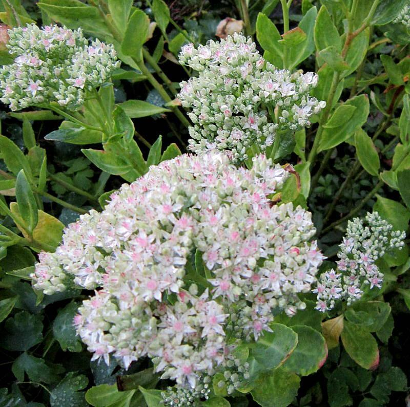 Photo of Stonecrop (Hylotelephium erythrostictum 'Frosty Morn') uploaded by ge1836