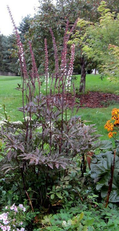 photo of the entire plant of bugbane actaea simplex 39 hillside black beauty 39 posted by ge1836. Black Bedroom Furniture Sets. Home Design Ideas