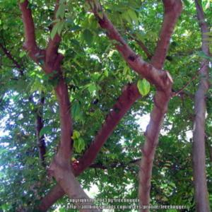 This cultivar has a reddish bark more foliage and you can notice