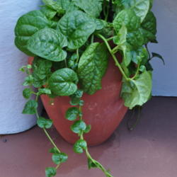 Try out Malabar Spinach
