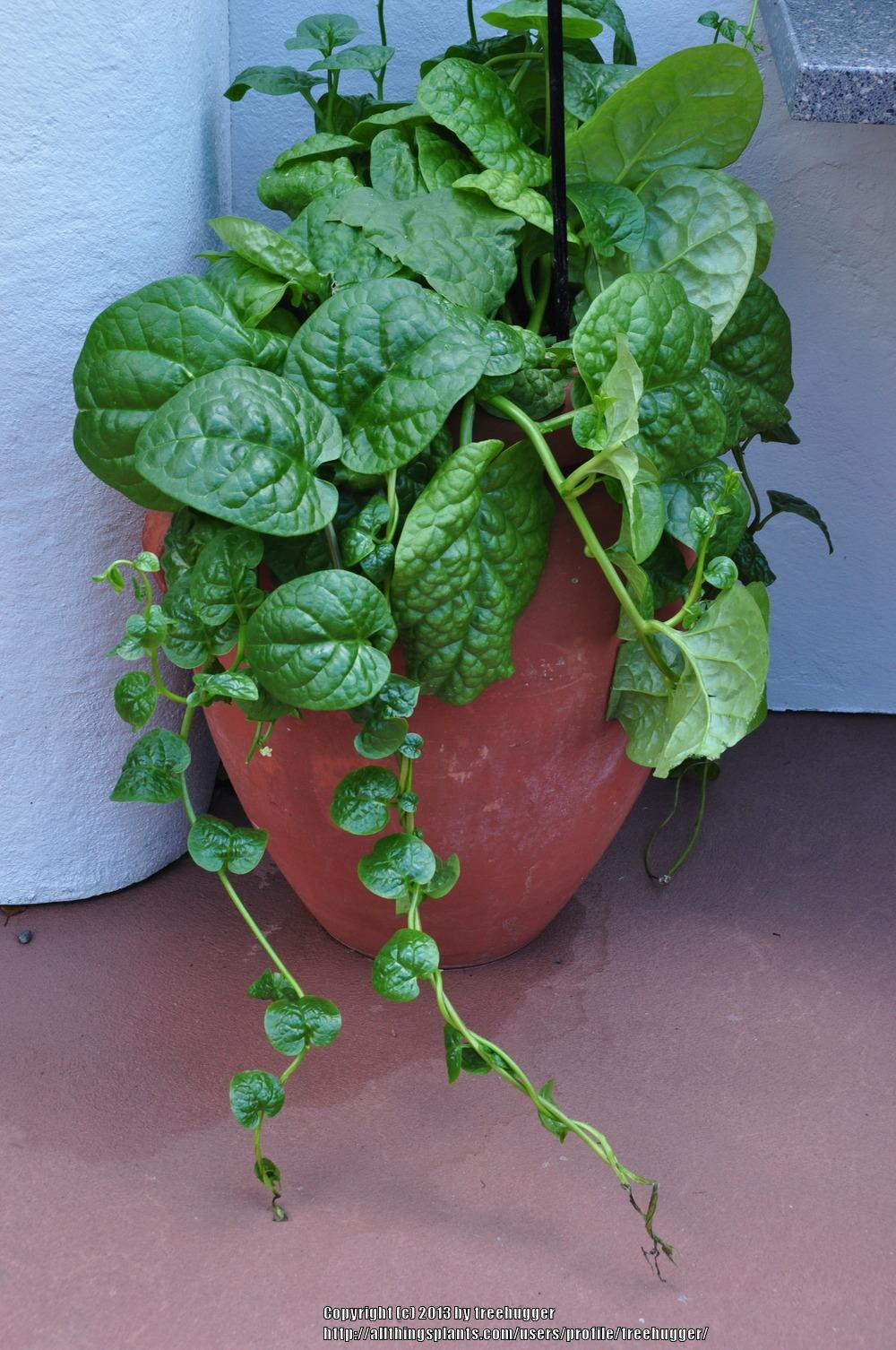 How Much Is Pest Control >> Try out Malabar Spinach - Garden.org