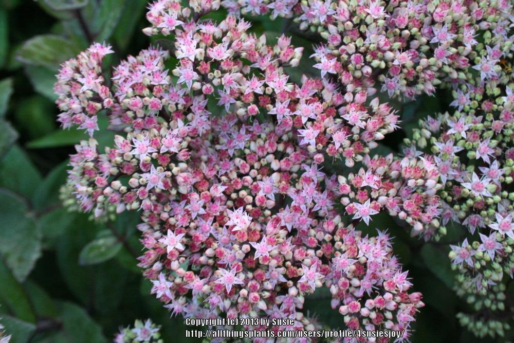 Photo of Stonecrop (Hylotelephium telephium subsp. telephium 'Samuel Oliphant') uploaded by 4susiesjoy