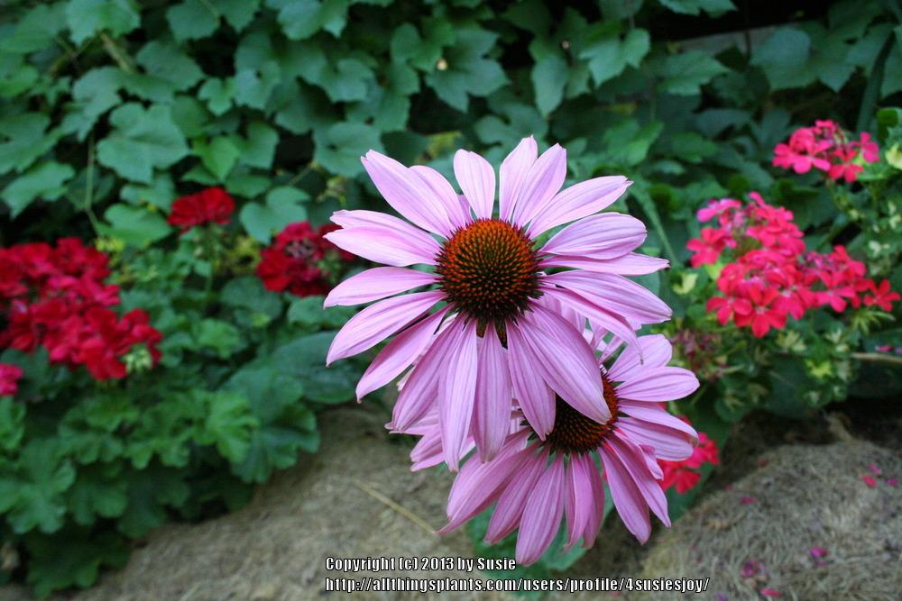 Photo of Purple Coneflower (Echinacea purpurea) uploaded by 4susiesjoy