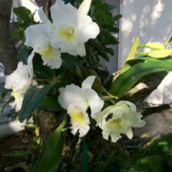 Thumb of 2013-09-10/Toomanyorchids/a98316