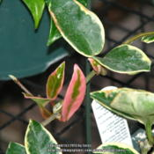 Location: San Joaquin County, CADate: 2013-09-10Some leaves of Hoya carnosa 'Tricolor' with pinkish cri