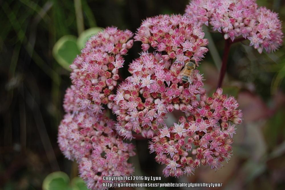 Photo of Stonecrop (Hylotelephium 'Matrona') uploaded by valleylynn