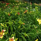 Location: Long Island, NY Date: 2013-07-03daylily beds