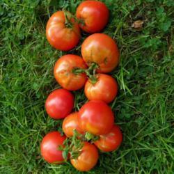 Ask Tomato Supersonic    250 seeds  Need More