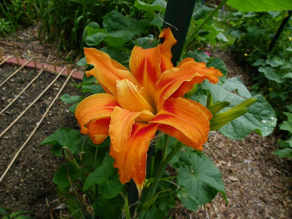 Photo of Daylily (Hemerocallis fulva 'Kwanso') uploaded by Newyorkrita