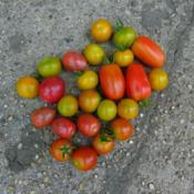 Location: Long Island, NY Date: 2013-07-05cherry and grape tomatoes