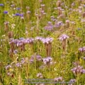 Location: my brother's garden, Wallony BelgiumDate: 2013-07-14Magnificent plant for a wild-flower meadow, full of buz