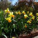 Cyclamineus Daffodils Add Charm to the Spring Garden