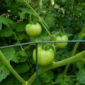 Location: Long Island, NY Date: 2013-07-03Green tomatoes not yet ripe.