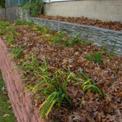 Collect Curbside Fall Leaves for Free Mulch