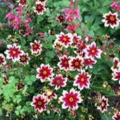 "Location: ConnecticutDate: Mid-summerCoreopsis ""Ruby Frost\"" - first year for this plant; b"