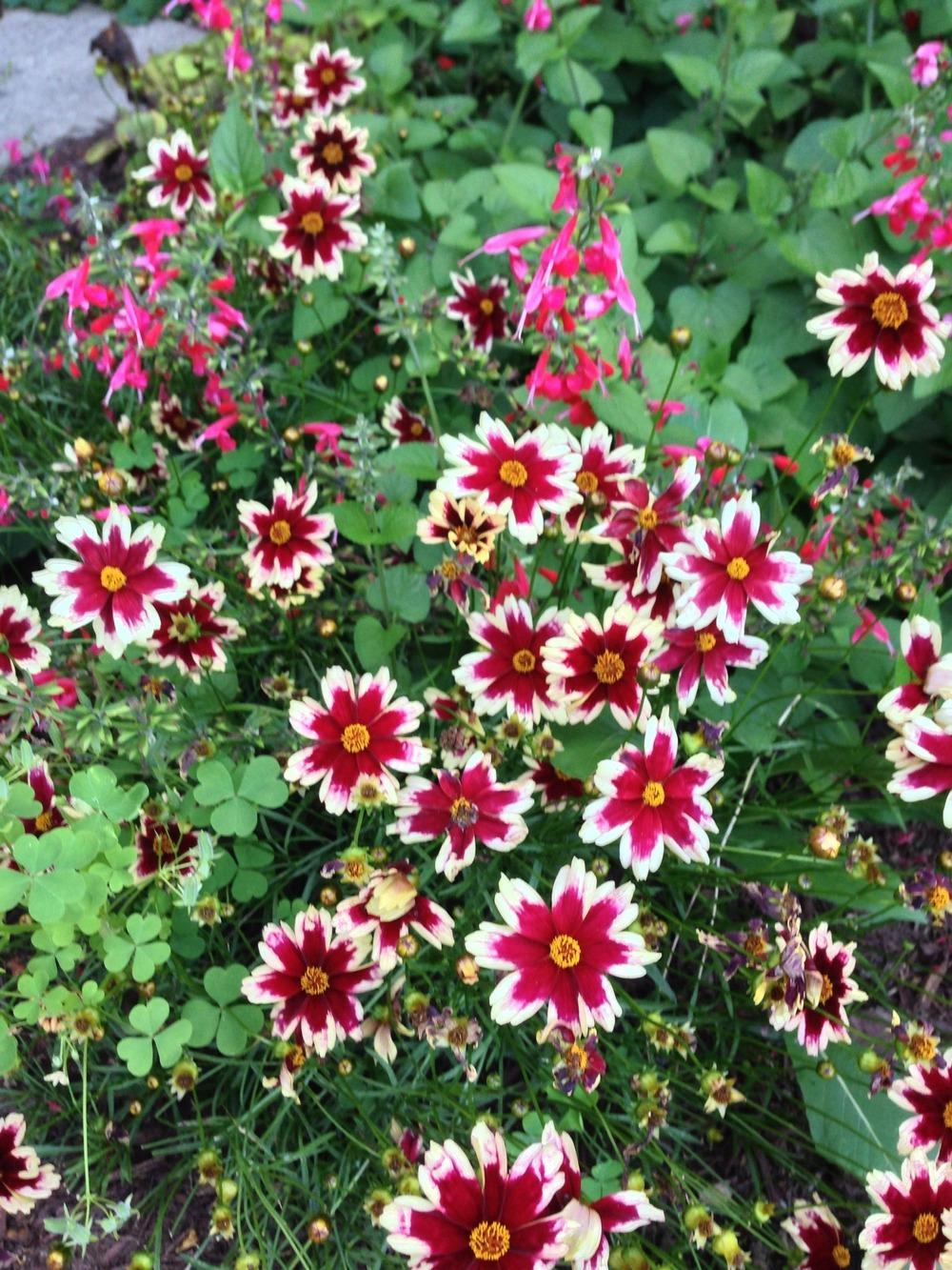 Photo of Hybrid Tickseed (Coreopsis Hardy Jewel™ Ruby Frost) uploaded by DonnieBrook