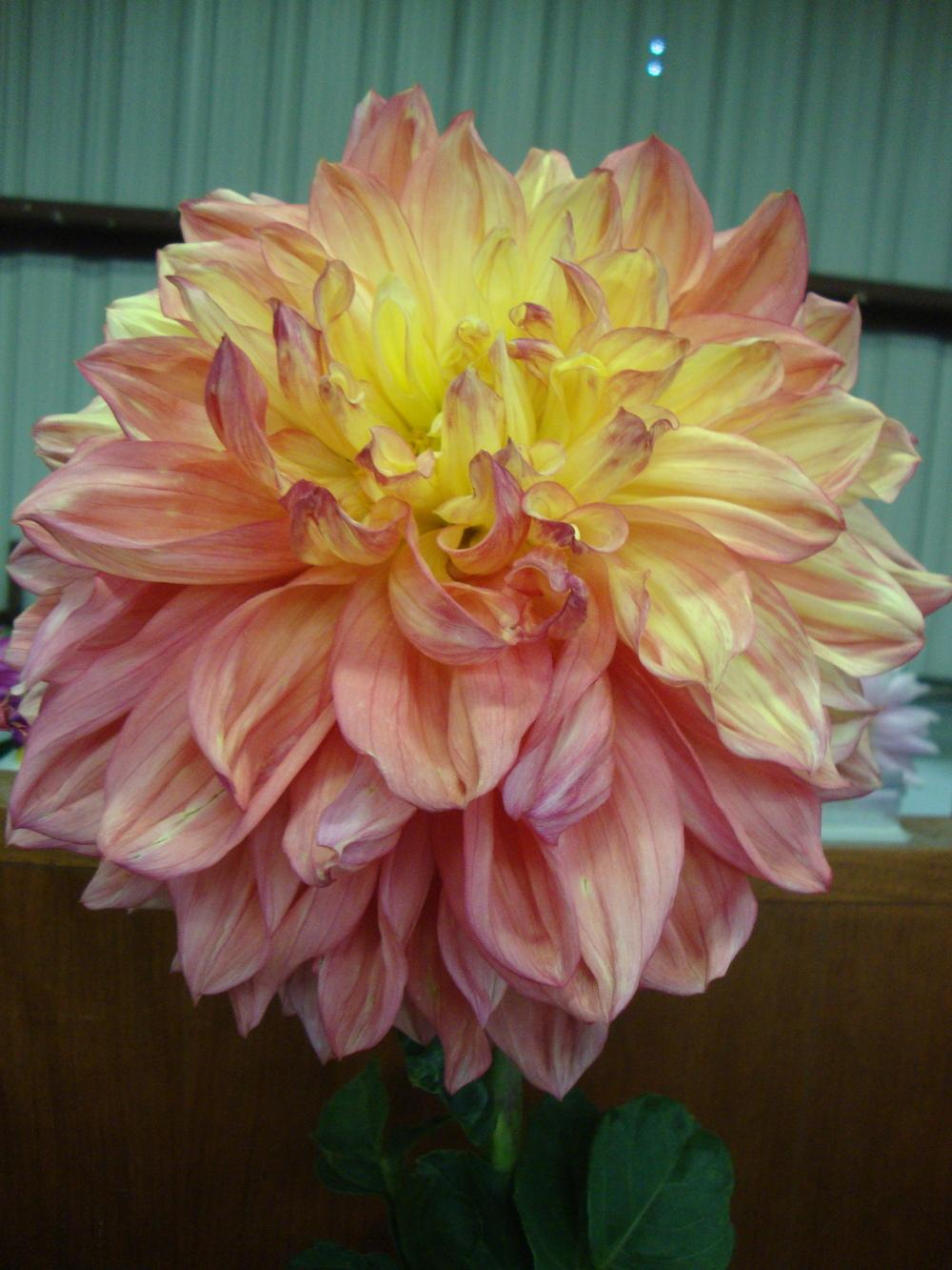 Photo of Dahlia 'Wanda's Aurora' uploaded by Paul2032