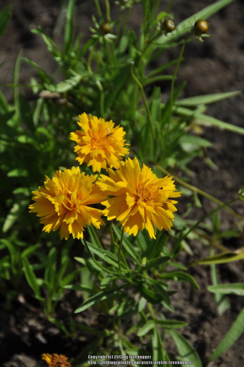 Photo of Large-flowered Tickseed (Coreopsis grandiflora 'Early Sunrise') uploaded by treehugger
