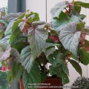 Location: Daytona Beach, FloridaDate: 2007-08-31 I no longer have this lovely begonia, the photo is from