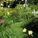 A Simple Fix for Leaning Daylily Scapes