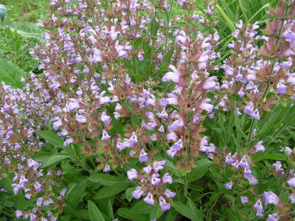 Photo of Culinary Sages (Salvia officinalis) uploaded by gardengus