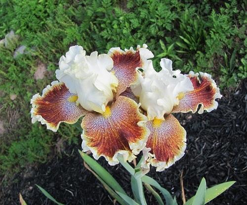 Photo of Tall Bearded Iris (Iris 'Wonders Never Cease') uploaded by starwoman