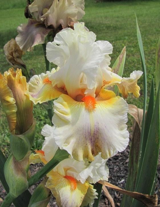 Photo of Tall Bearded Iris (Iris 'Quandary') uploaded by starwoman