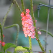 Location: My garden in KentuckyDate: 2013-09-17Fresh and faded flowers