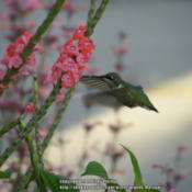 Location: My garden in KentuckyDate: 2013-09-17Hummingbird working all the blooms of the plant. #Polli