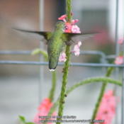 Location: My garden in KentuckyDate: 2013-09-17Hummingbird getting the sweet nectar out of the flower.