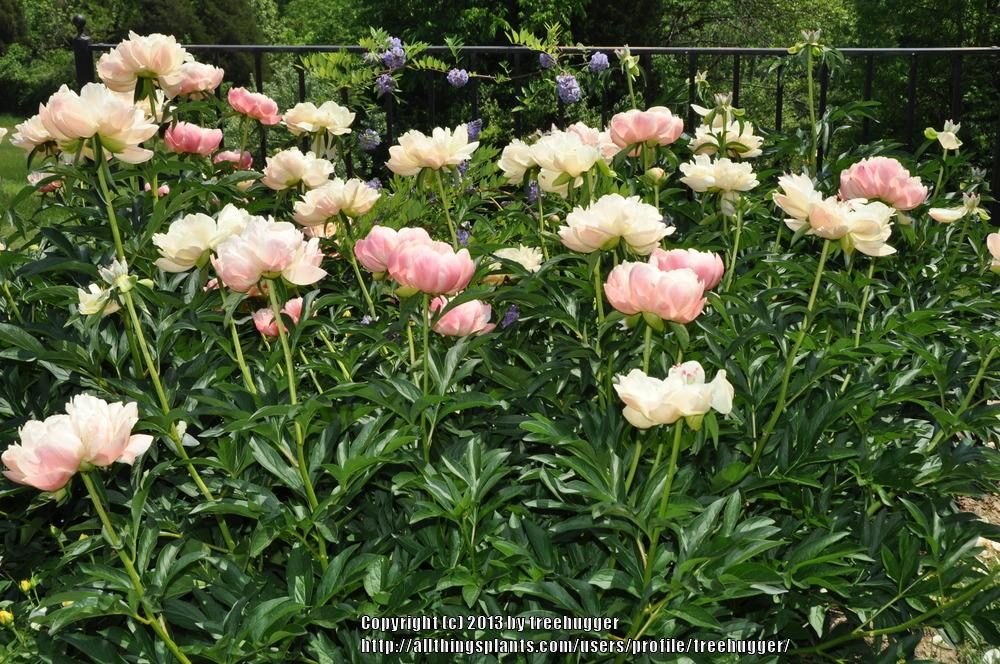 Photo of Peony (Paeonia 'Extra Sweet Pink') uploaded by treehugger