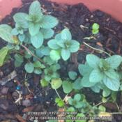 Location: Norfolk, VA (USDA zone 8a)Date: 2012-03-20Young plant grown from cutting