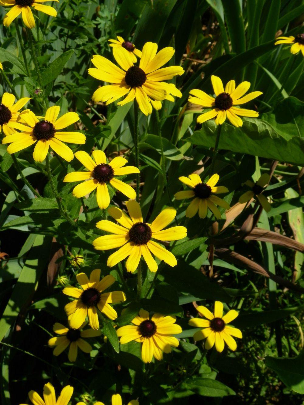 Photo of Black Eyed Susans (Rudbeckia) uploaded by Newyorkrita