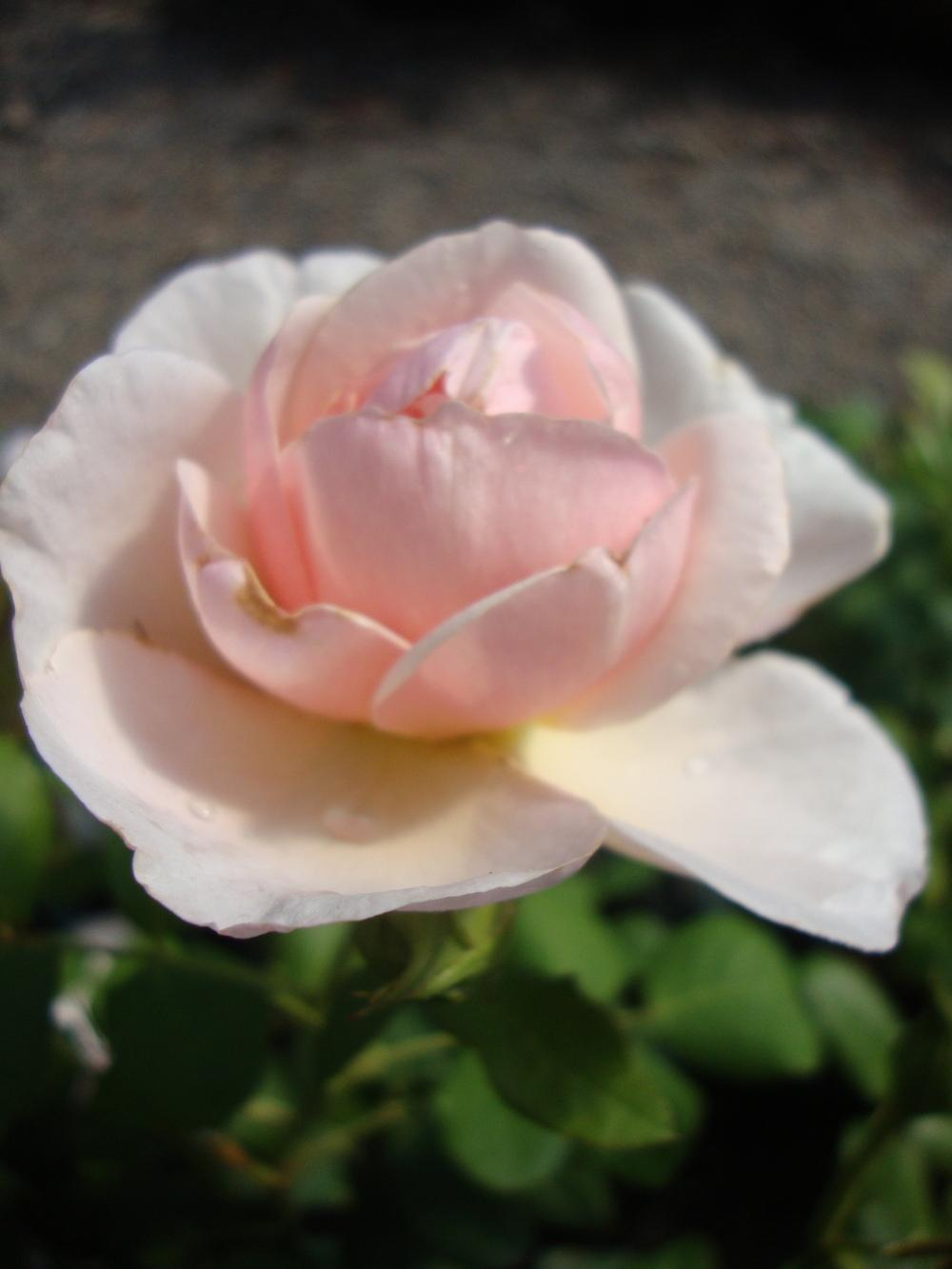 Photo of Rose (Rosa 'Heritage') uploaded by Paul2032