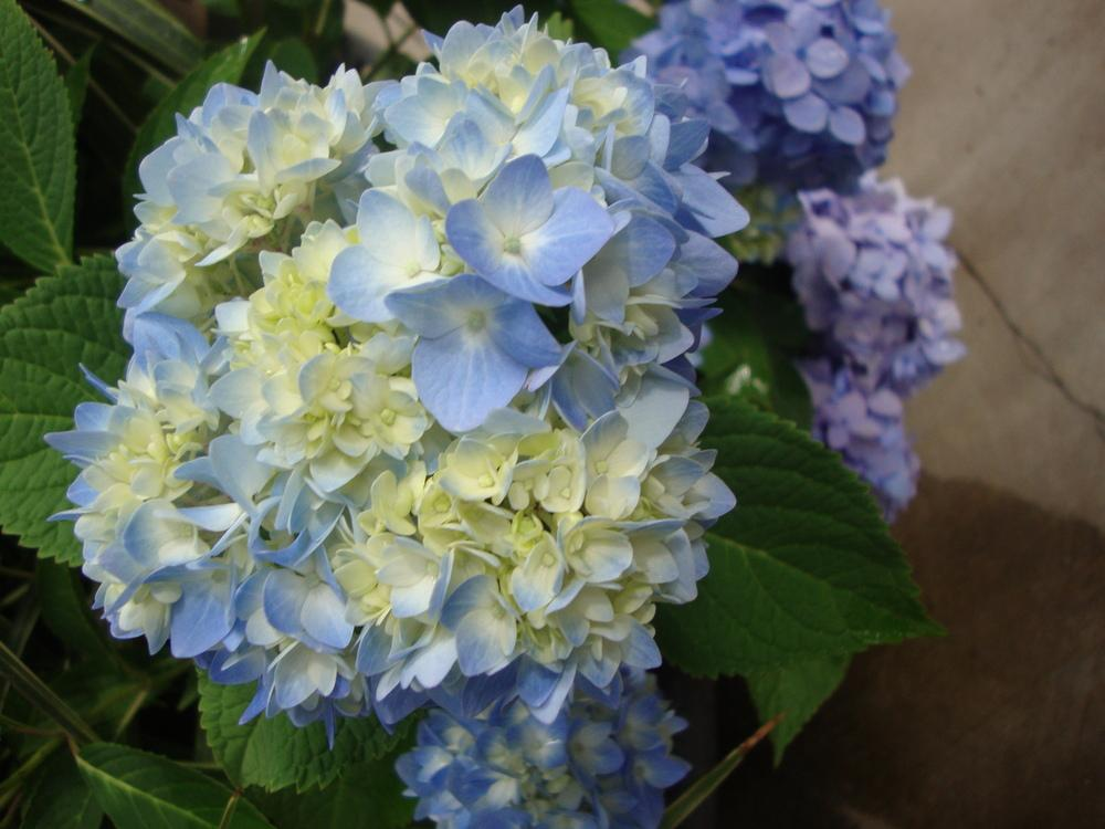 Photo of Bigleaf Hydrangea (Hydrangea macrophylla Endless Summer® The Original) uploaded by Paul2032
