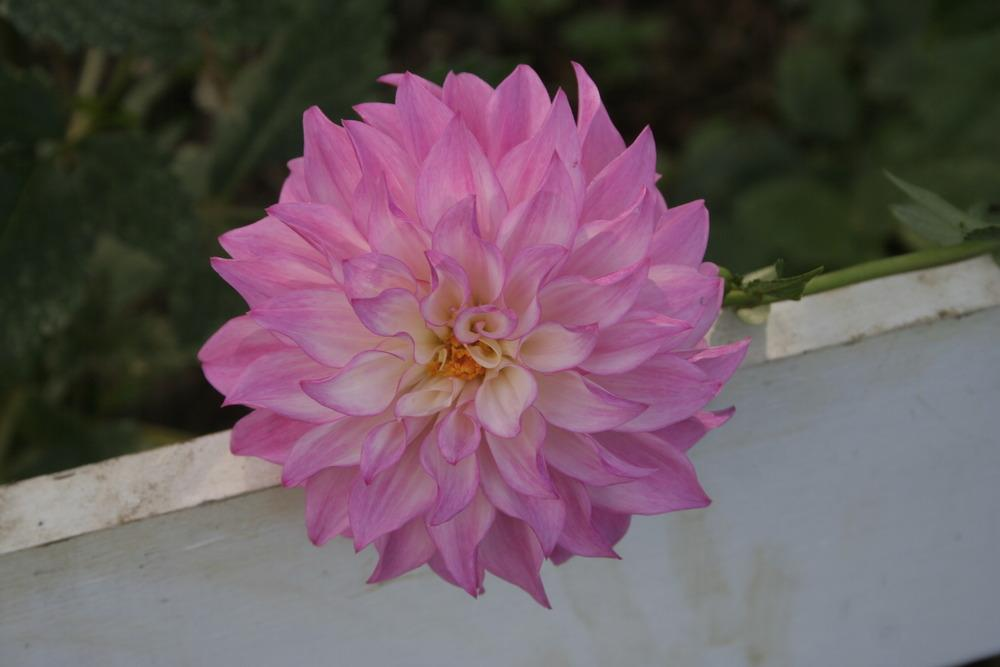 Photo of Dahlia 'Colorado Classic' uploaded by luvsgrtdanes