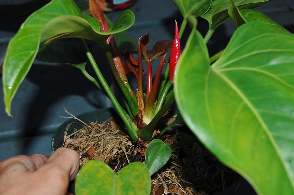 Photo of Anthuriums (Anthurium) uploaded by purpleinopp