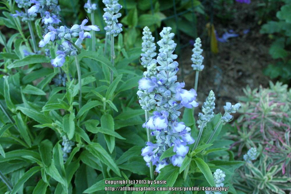 Photo of Salvia (Salvia farinacea 'Fairy Queen') uploaded by 4susiesjoy