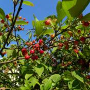 Location: Long Island, NY Date: 2013-09-21Berries getting red.