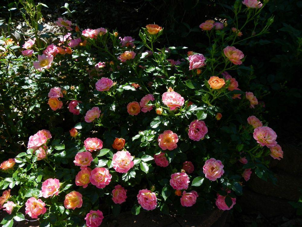 Photo of Roses (Rosa) uploaded by Newyorkrita