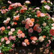 Location: Long Island, NY Date: 2013-06-10carpet roses