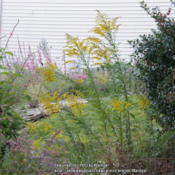 Location: My garden in Northern KYDate: 2013-09-21With a Hummer perched in the background