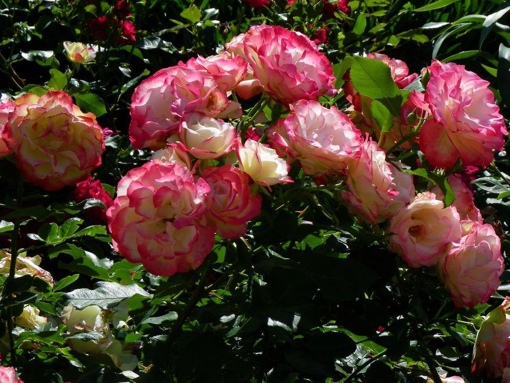 Photo of Rose (Rosa 'Cherry Parfait') uploaded by Newyorkrita