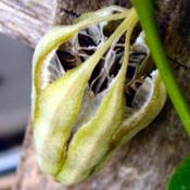 Location: Summeville, SCMature open seed pod